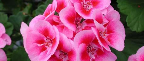 pac-Flower Fairy Rose®
